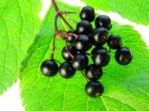 Elderberry Concentrate Health Benefits